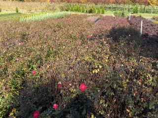 Hundreds of Knockout roses waiting to be pruned at the wholesale grower's nursery.  Picture taken mid November.  The grower says it's good work for his crew in January.