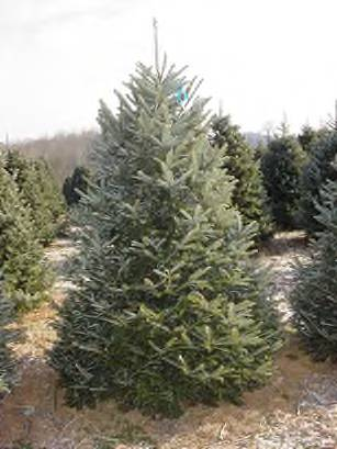 this is a frasier fir tree it even has a botanical name for exactness