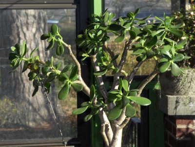 This jade plant has been worked on for several years.  Time for more pruning