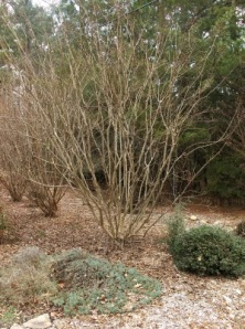 "These crape myrtles need a bit of shaping to finish the 4 dimensional ""picture"""