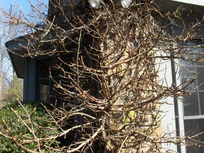 I wonder how long it takes to grow a climbing hydrangea like this?