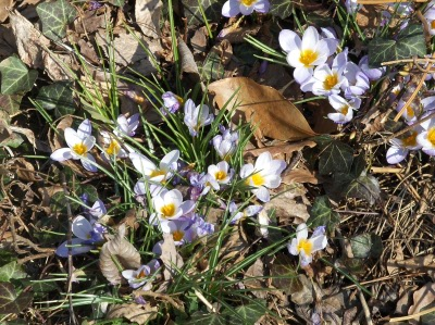 The crocus tells us that spring is on its way