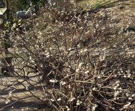 The beautiful fragrant edgeworthia