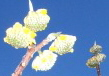 An impressionistic view of the edgeworthia bloom and the blue, blue sky