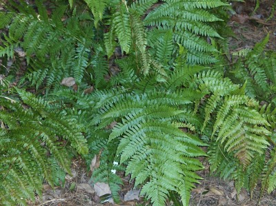 Ferns offer a lush green floor in shaded borders
