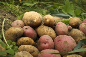 You can harvest your own taters