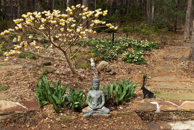 A meditation garden with Edgeworthia and Lenten roses