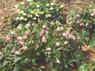 Lenten rose, one of the first flowers of the new year--and long lasting.