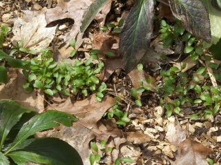I love seeing the little Lenten rose seedlings up from last years blooms