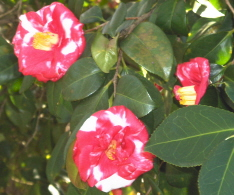 This camellia stopped me in my tracks, I had to share.