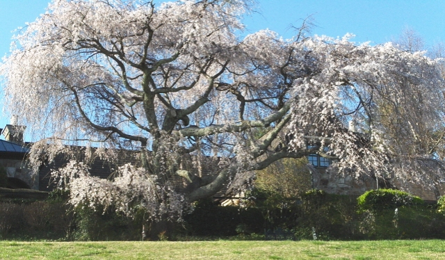 """A grand old weeping cherry.  The owners refer to it as """"THE tree"""""""