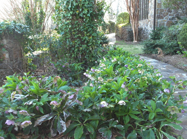I love the lenten roses.  They brighten up a shady corner for Easter.