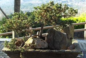 "The bonsai is in a hand made ""hypertuffa"" concrete dish."