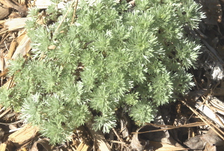 artemesia 'silver mound'--one of my favorite perennials