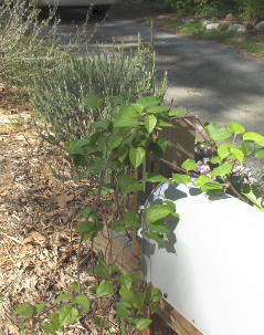 Clematis, of course, on the mailbox.  Lavender backing it up.