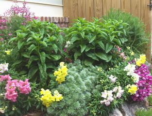 raised bed with perennials, rock border.