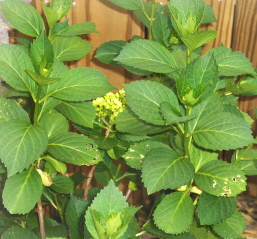 I'll have to return to the garden when the hydrangeas bloom.