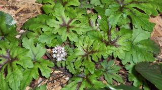 Sylvia's 'foam flower'  I love the foliage.  Does anyone know the botanical name?