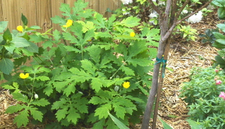 The celandine poppy works well in shaded areas