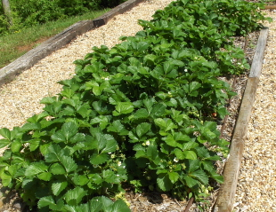 These beautiful strawberry plants are loaded with little almost ready berries.  Love that compost!