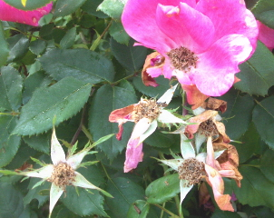 The seed pods develop and the petals fall.