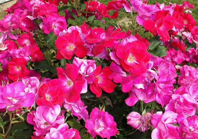 Summertime care for Knockout roses (1/6)
