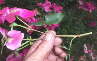 deadheading and pruning the Knockout rose at the same time.
