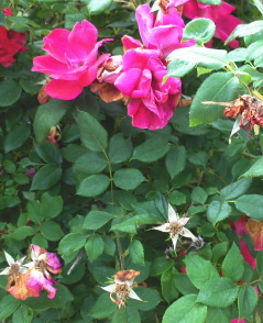 Summertime care for Knockout roses (3/6)