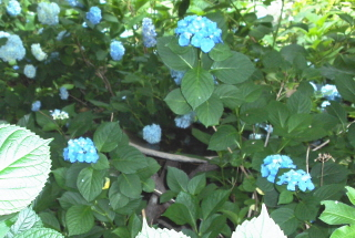 I knew it was there.   It took a while to find the bird bath nestled in the hydrangeas.