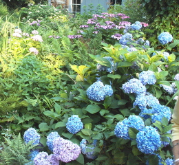 Hydrangeas provide an abundance of color in the late spring.