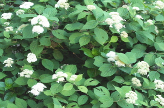 "The ""woods hydrangea"". This must be the mother of all hydrangea varieties."