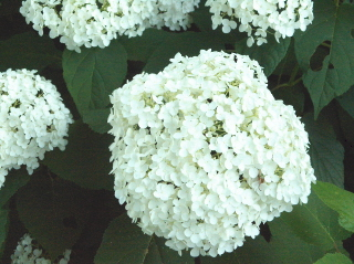 Annabelle blooms are a pure white, later turning into light green.