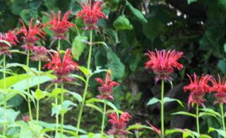 "monarda ""Jacob Cline""-- fungus resistant.  Also known as ""bee balm"""