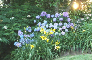 Oakleaf, Blue Nikko hydrangeas background for yellow daylily.