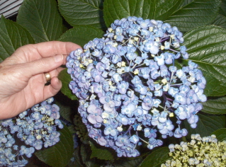 "hydrangea ""Ayesha"" bloom--soft and spongy."
