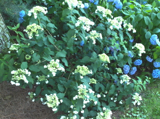 """Beni Gaku"" hydrangea, just beginning to show off"