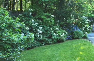 Using hydrangeas for a summertime privacy screen
