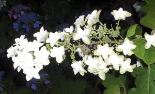 """Oak leaf hydrangea, """"Haye's Stardust"""""""