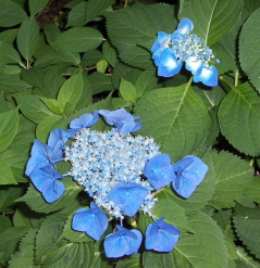 "The ""lace cap"" hydrangea forms its bloom in an interesting and lovely manner."