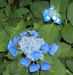 blue lace cap hydrangea