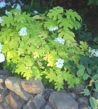 "hydrangea, ""little honey""  I like the lime green leaves as a garden accent"