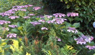 "Southern woods fern and pink ""lace cap"" hydrangea"