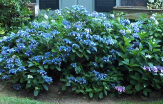 "The low growing Beni-Gaku, a blue ""lace cap"" hydrangea"