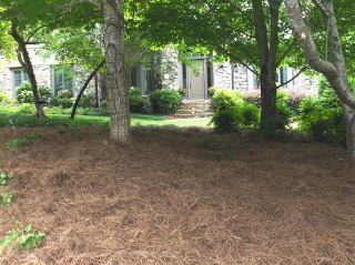 fresh pine straw mulch in a natural area