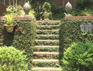 Fig vine softens the brick retaining wall and steps.  The topiary suggests a treat at the top.