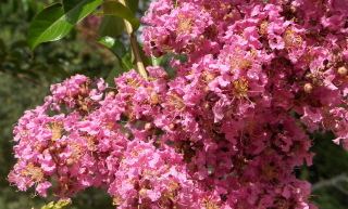 crape myrtle flower, a summertime delight