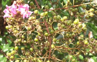 Crape myrtle seed pods.  These may be removed to encourage new blooms