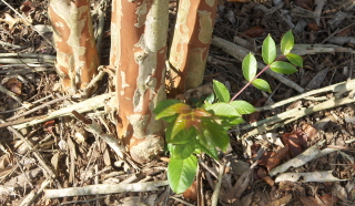 unwanted stems at the base of the crape myrtle will eventually ruin the shape of the tree