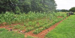 David Brown's beautiful organic vegetable garden