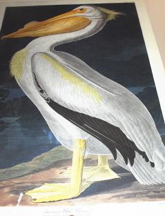 Pelican, an early Audubon print